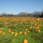 Laity Pumpkin Patch - Farms & Ranches - 604-467-4302