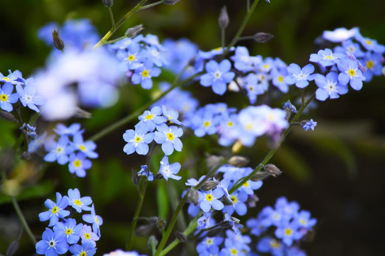 7. Forget-me-nots