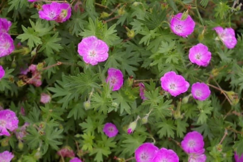 photo Perennial Gardener