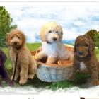 Lakewood Ranch Doodles - Dog Breeders - 705-875-5195
