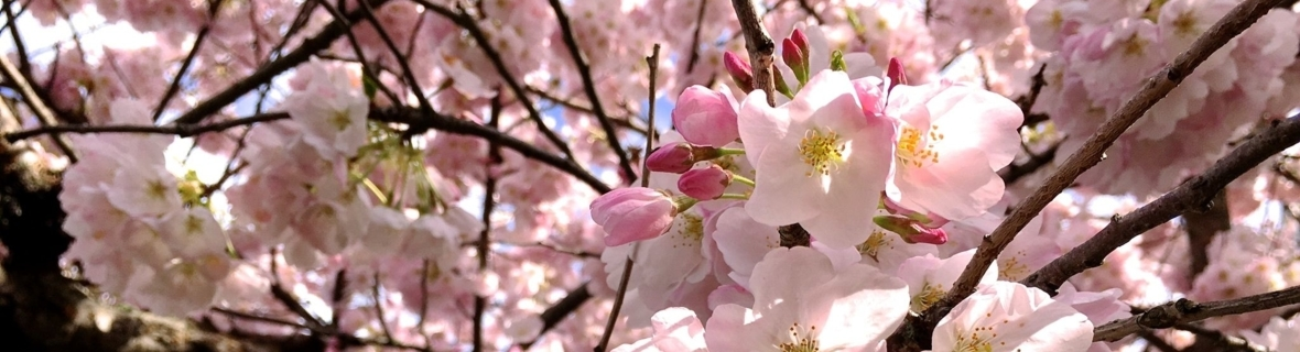 Admire Vancouver's best cherry blossoms from these cafés